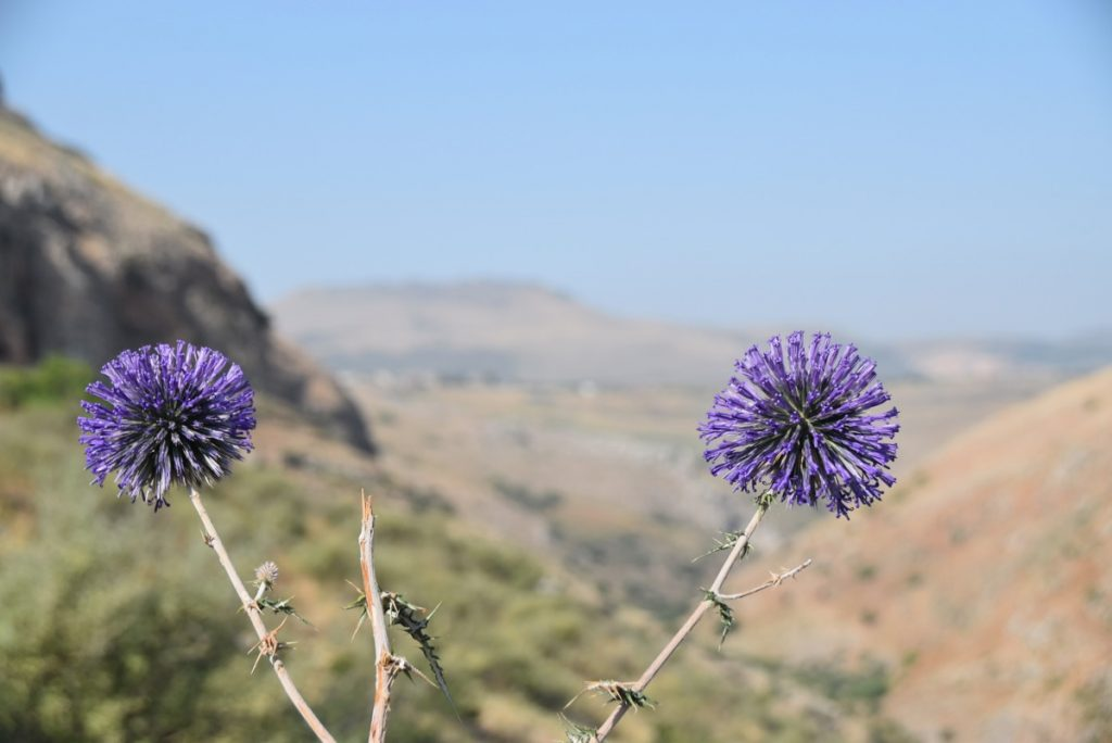 Cliff of Arbel crown thistle May 2018 Israel Tour Dr. John DeLancey