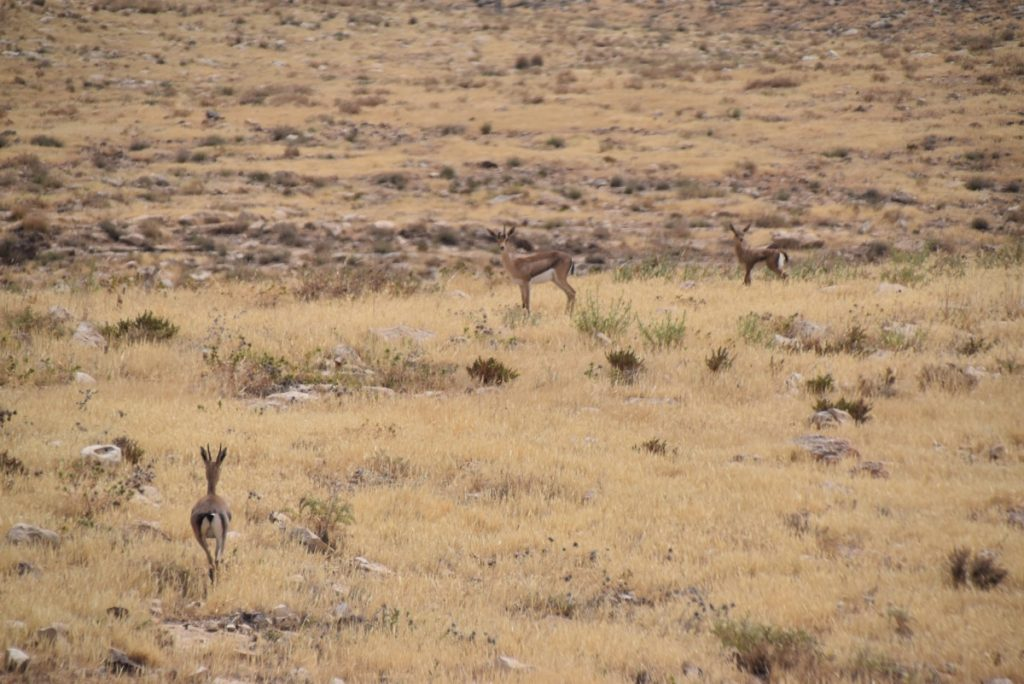 Gazelle in Israel May 2018 Israel Tour Dr. John DeLancey