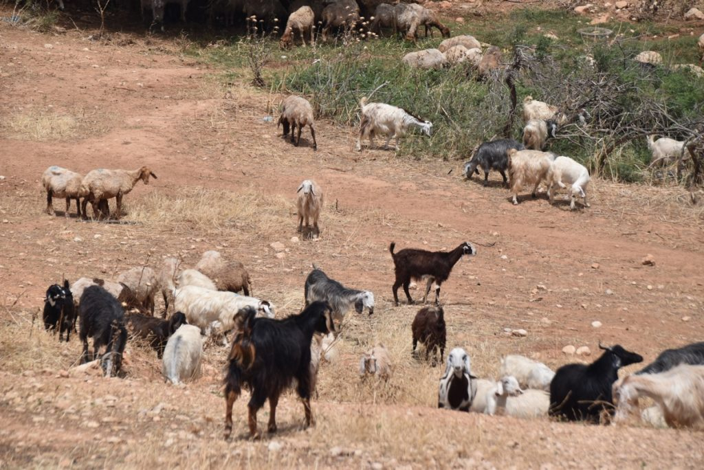 Shepherd and sheep May 2018 Israel Tour Dr. John DeLancey