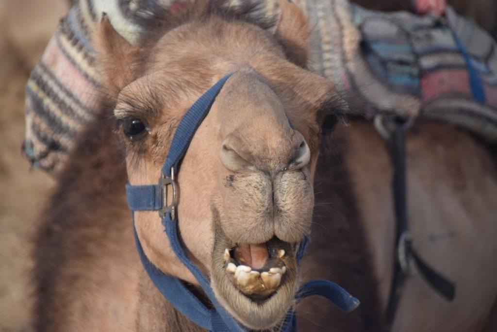 Camel May 2018 Israel Tour Dr. John DeLancey