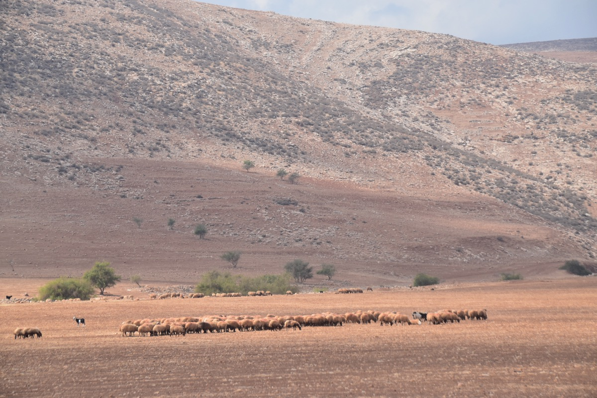 Sheep in Samaria