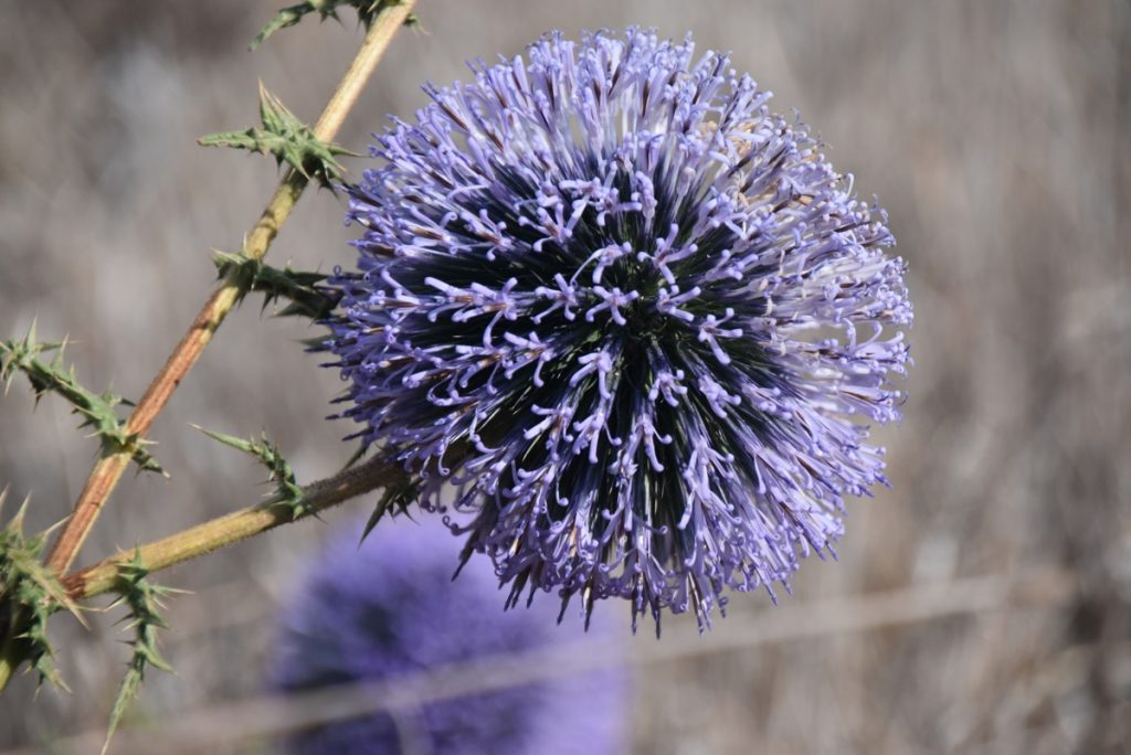 Crown thistle Nov 2018 Israel Tour with BIMT