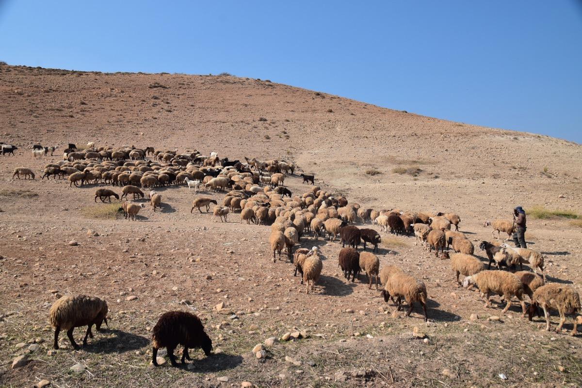 Shepherds in Samaria