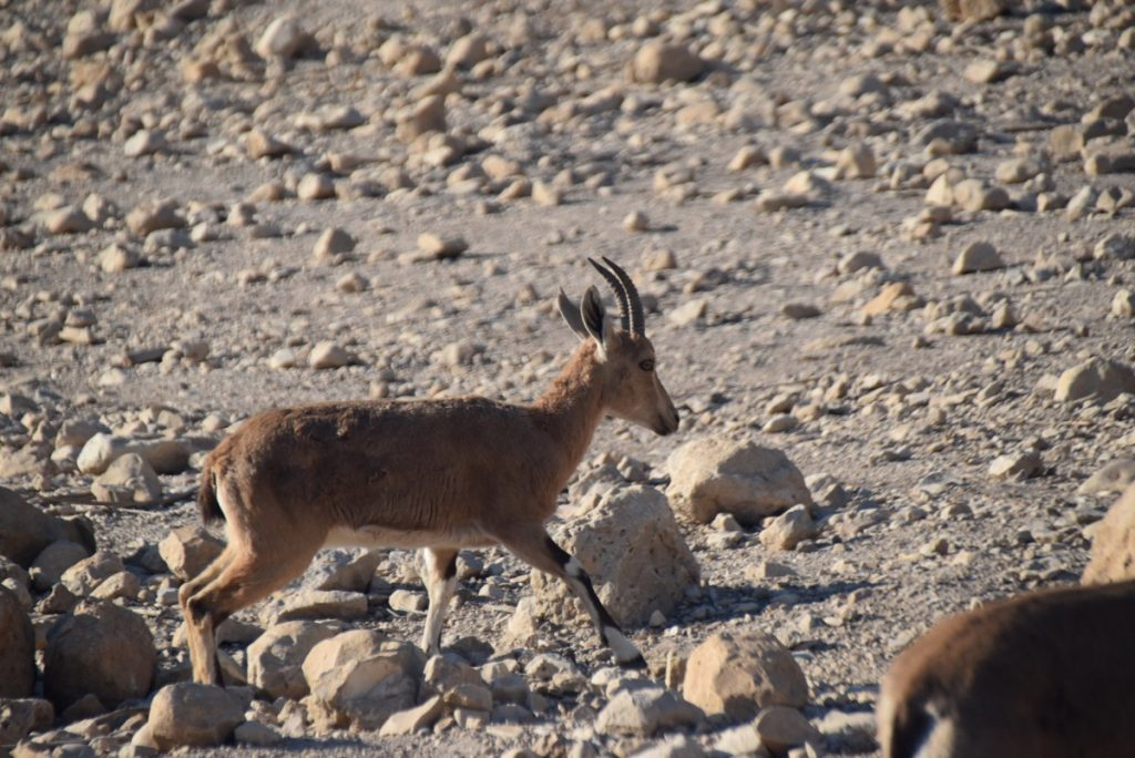 Engedi ibex January 2019 Israel Tour with John DeLancey