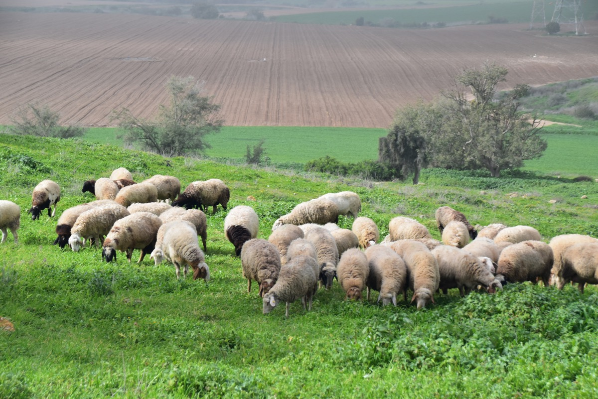 Sheep on Gath