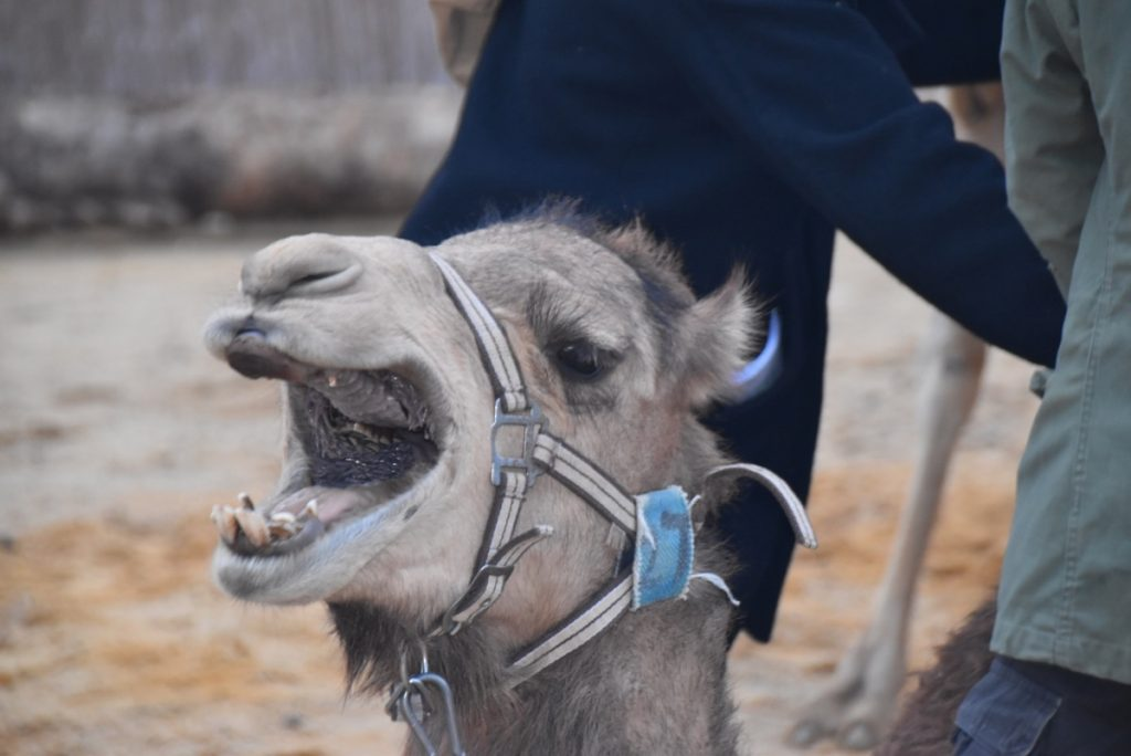 Camel January 2019 Israel Tour with John Delancey of Biblical Israel Ministries & Tours