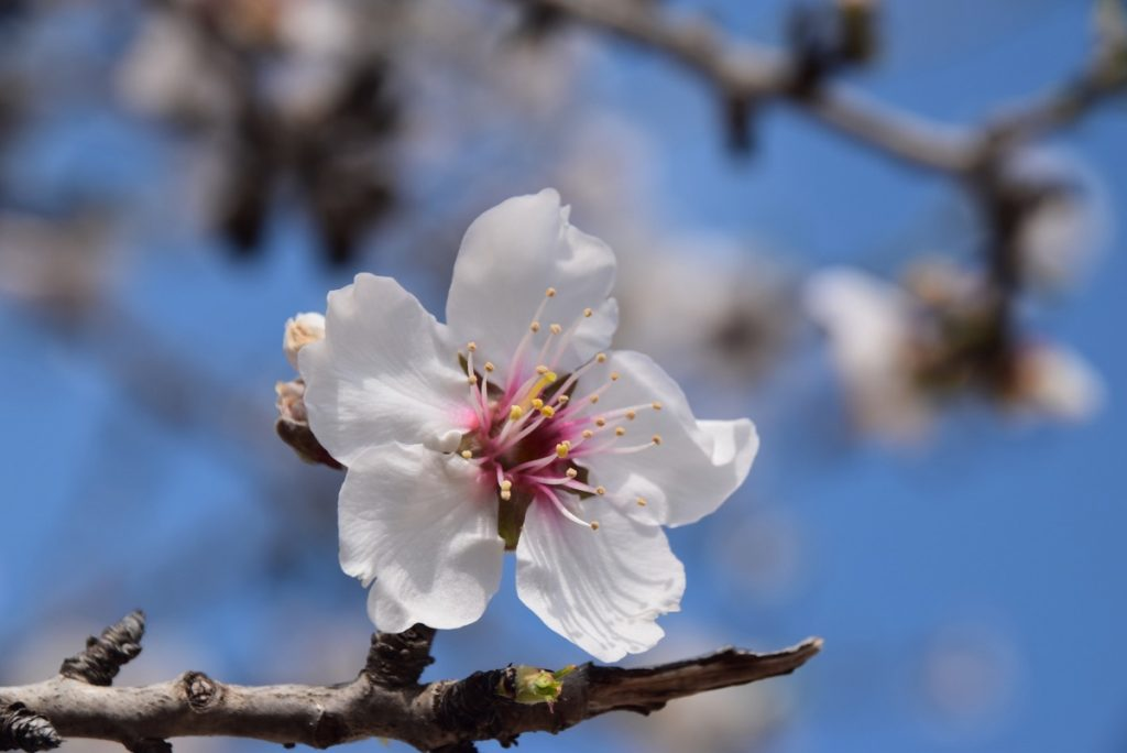 Almond bud February 2019 Israel Tour with John DeLancey