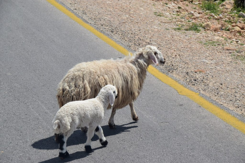 Sheep Jordan March 2019 Israel Tour with John DeLancey