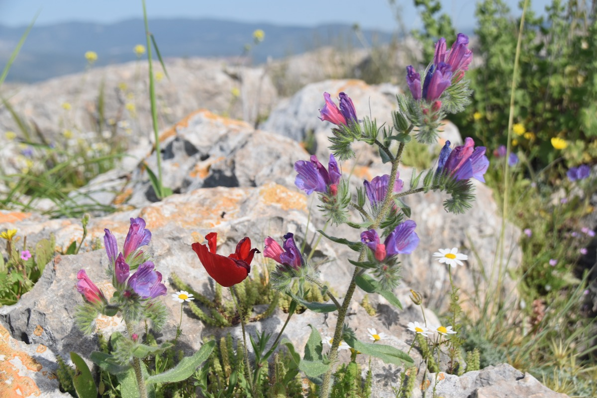 Arbel flowers