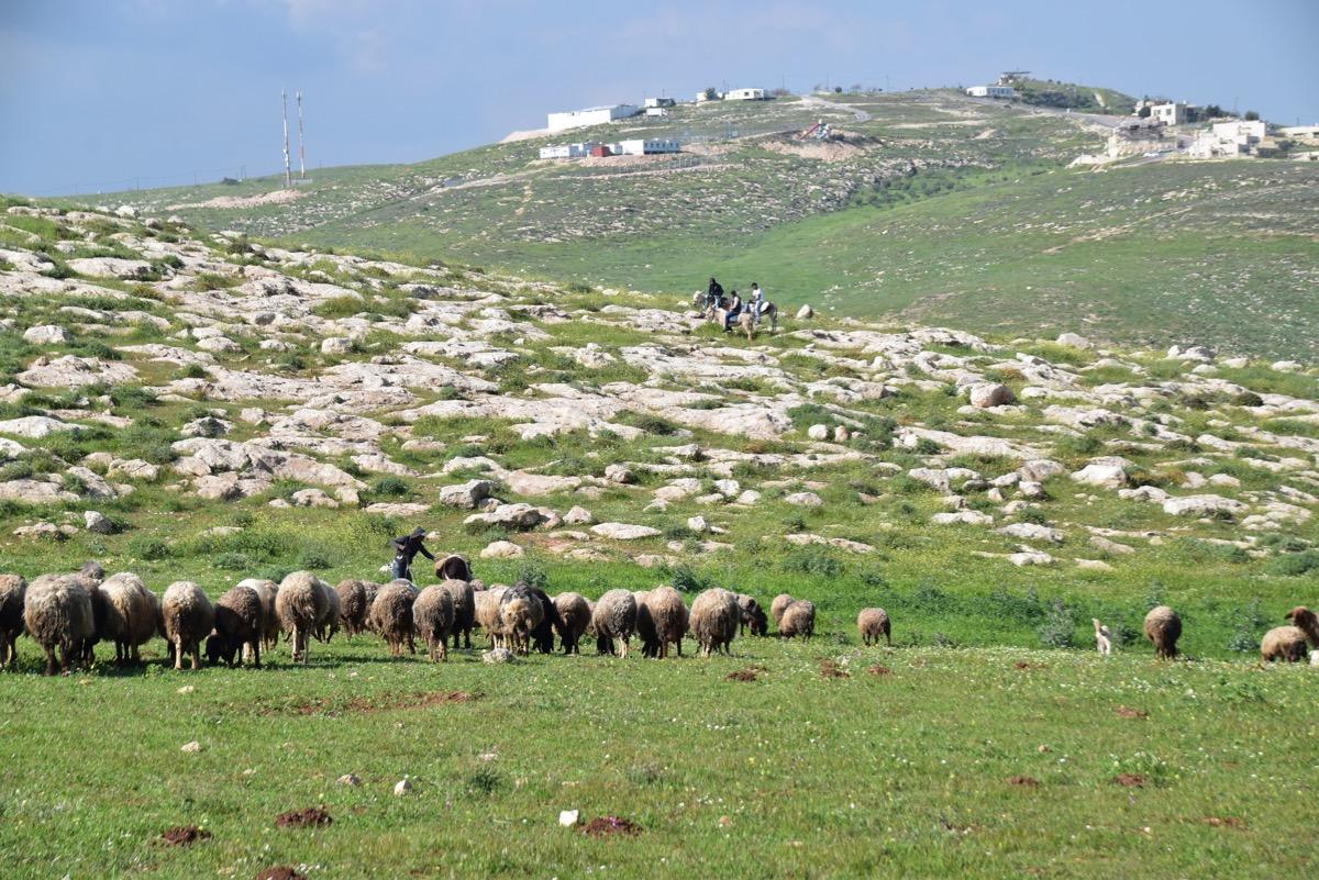 Samaria shepherds