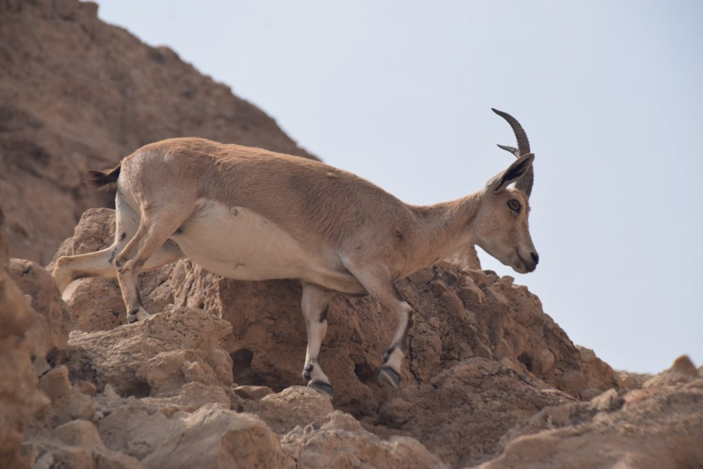Engedi ibex March 2019 Israel Tour with John DeLancey