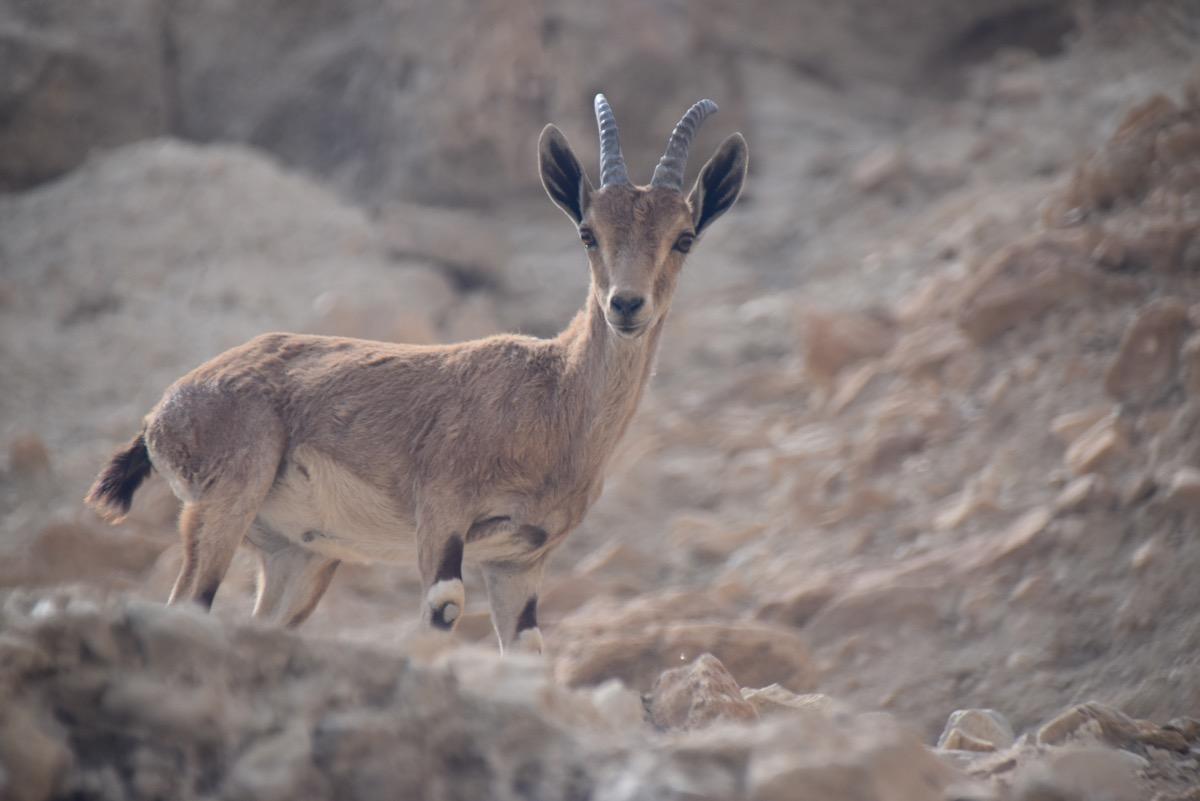 Ibex at Engedi