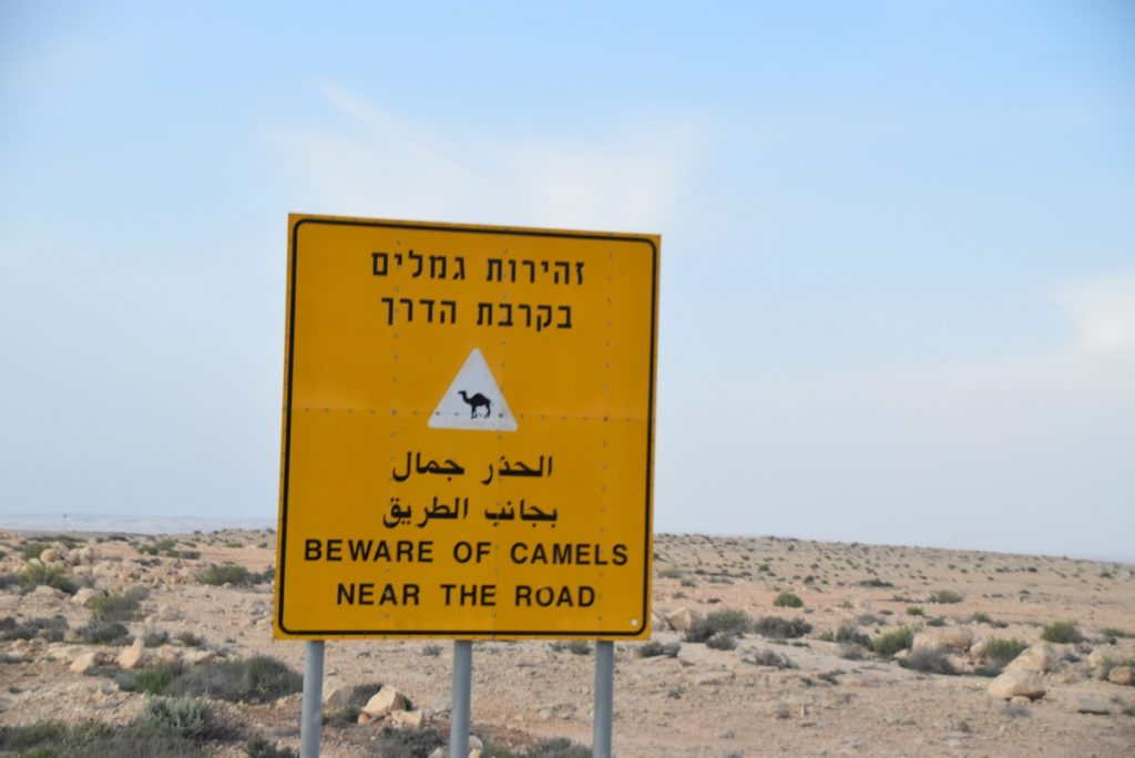 Camel crossing March 2019 Israel Tour with John DeLancey
