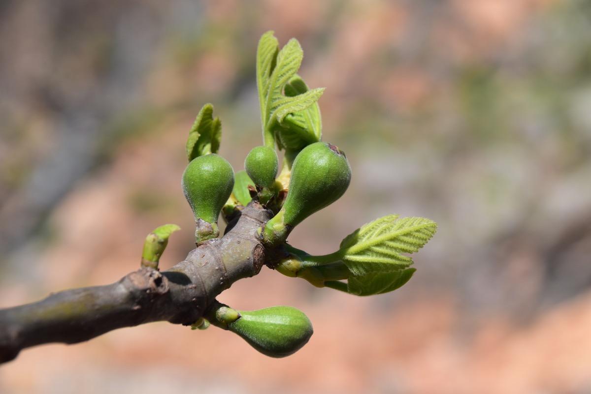 Fig buds
