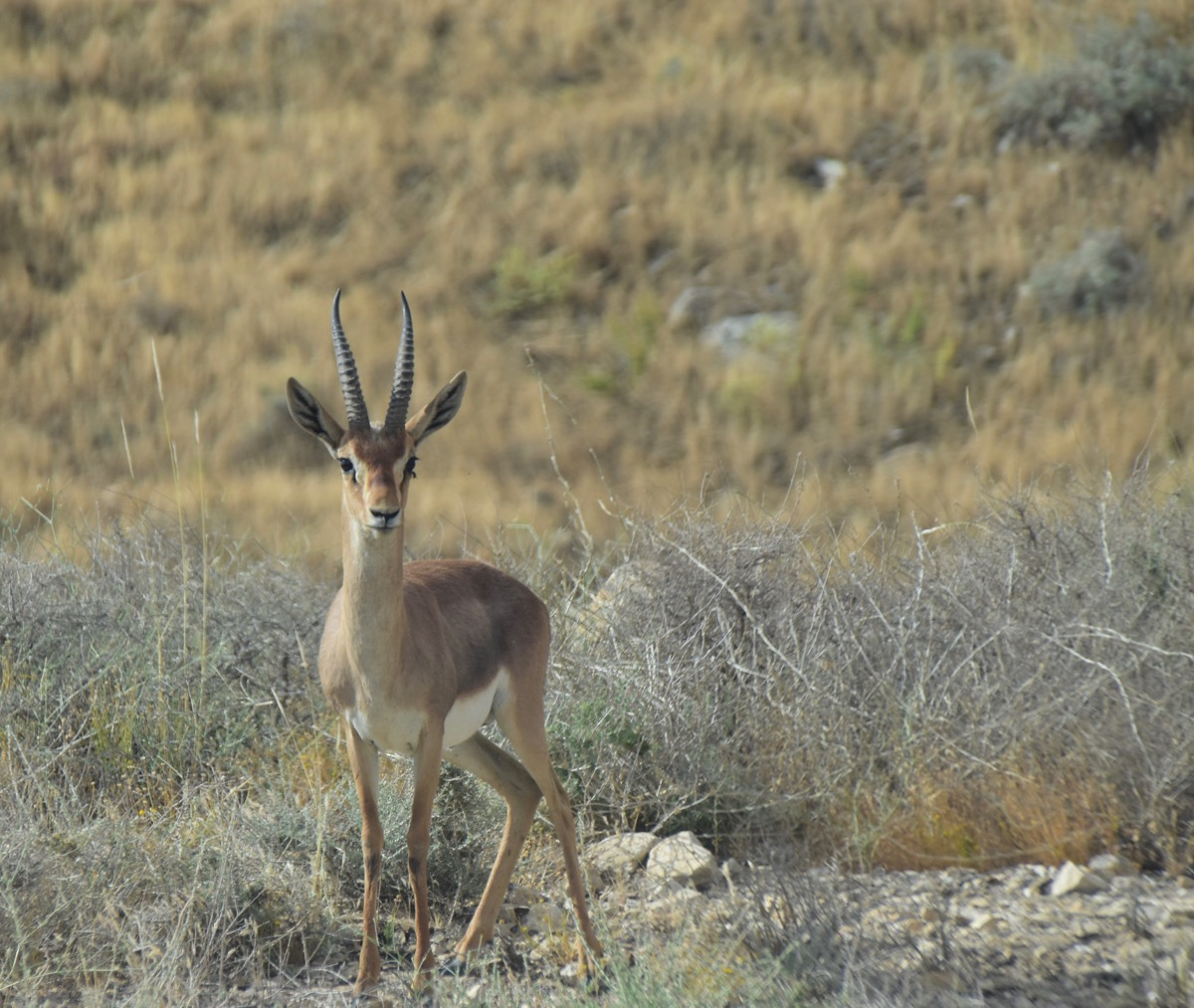 Gazelle in Wadi Qelt