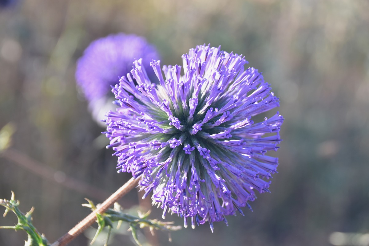 Arbel crown thistle