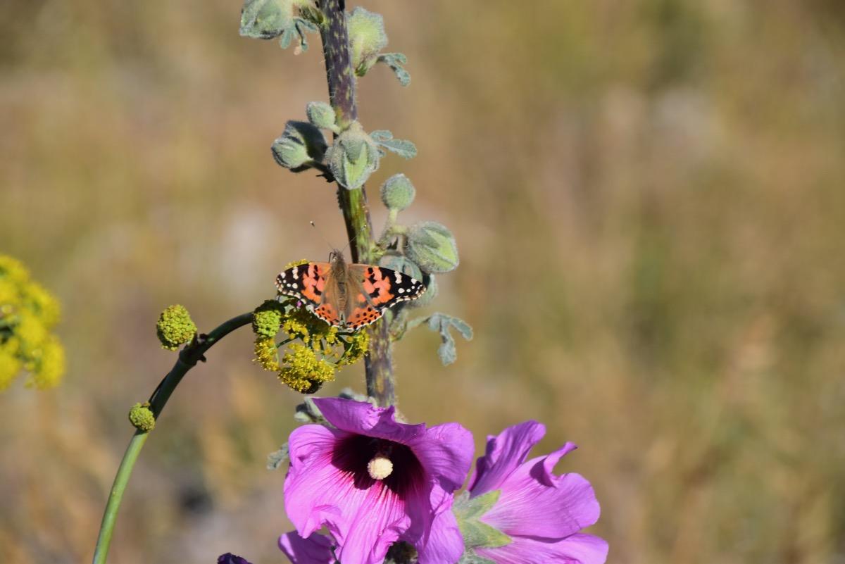 Butterfly in Israel