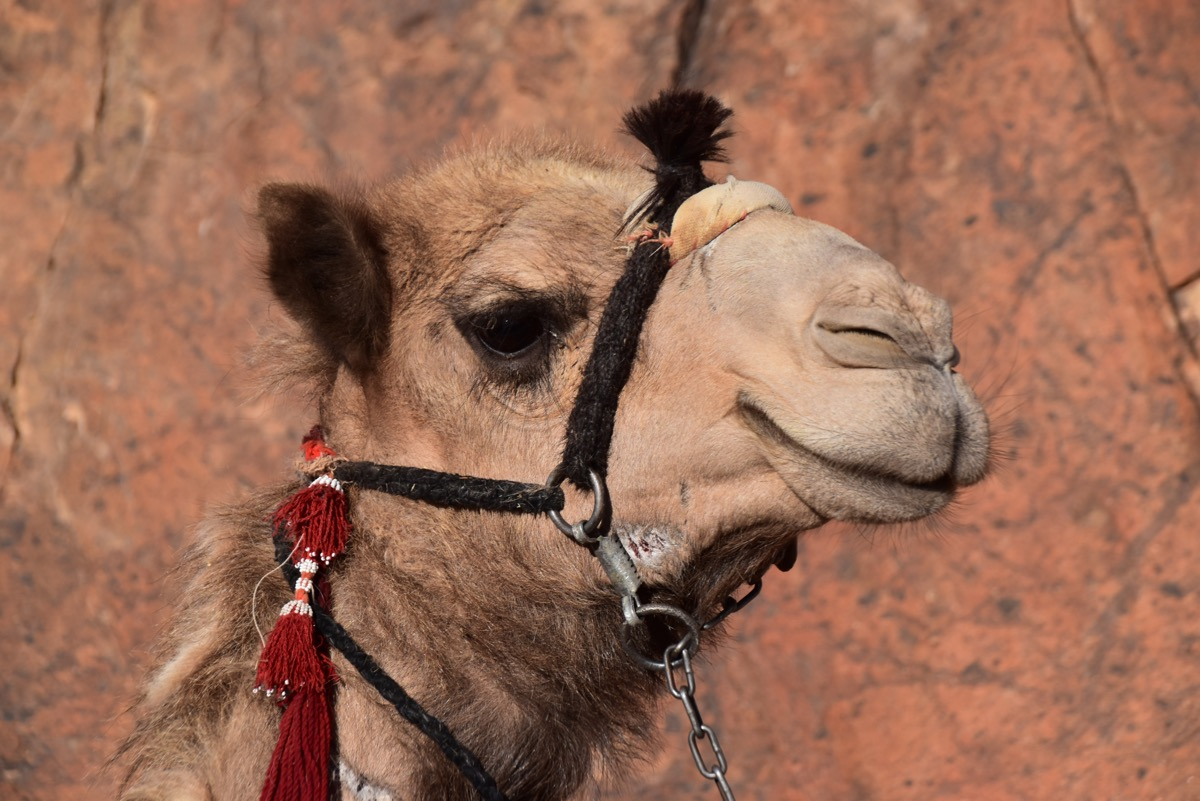 Camels on Mt. Sinai, Egypt