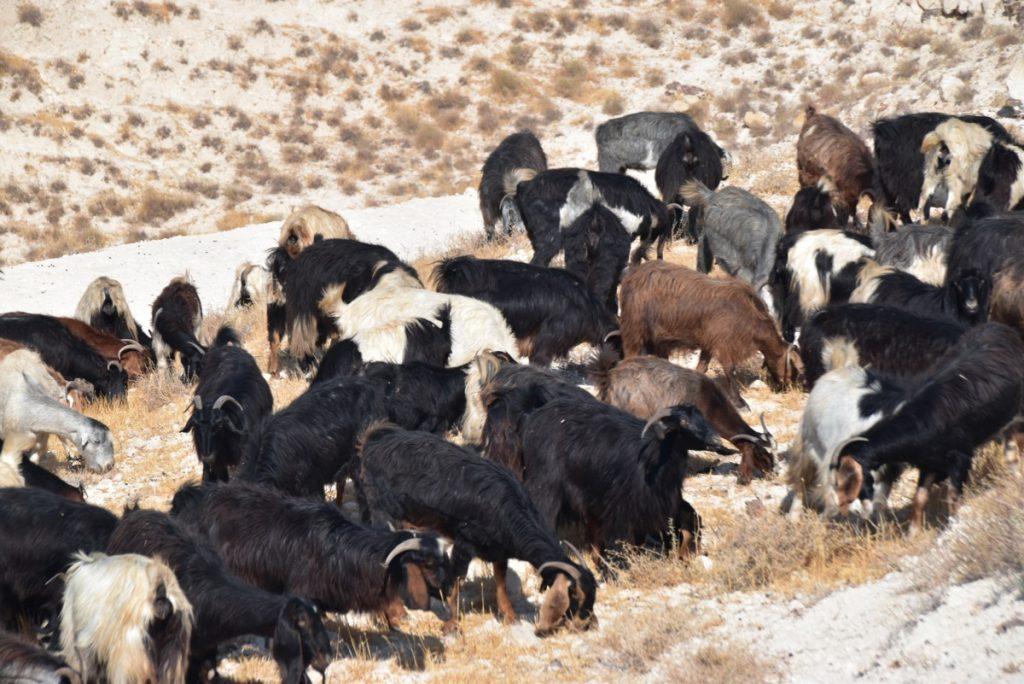 goats Sept 2019 Israel Tour with John DeLancey
