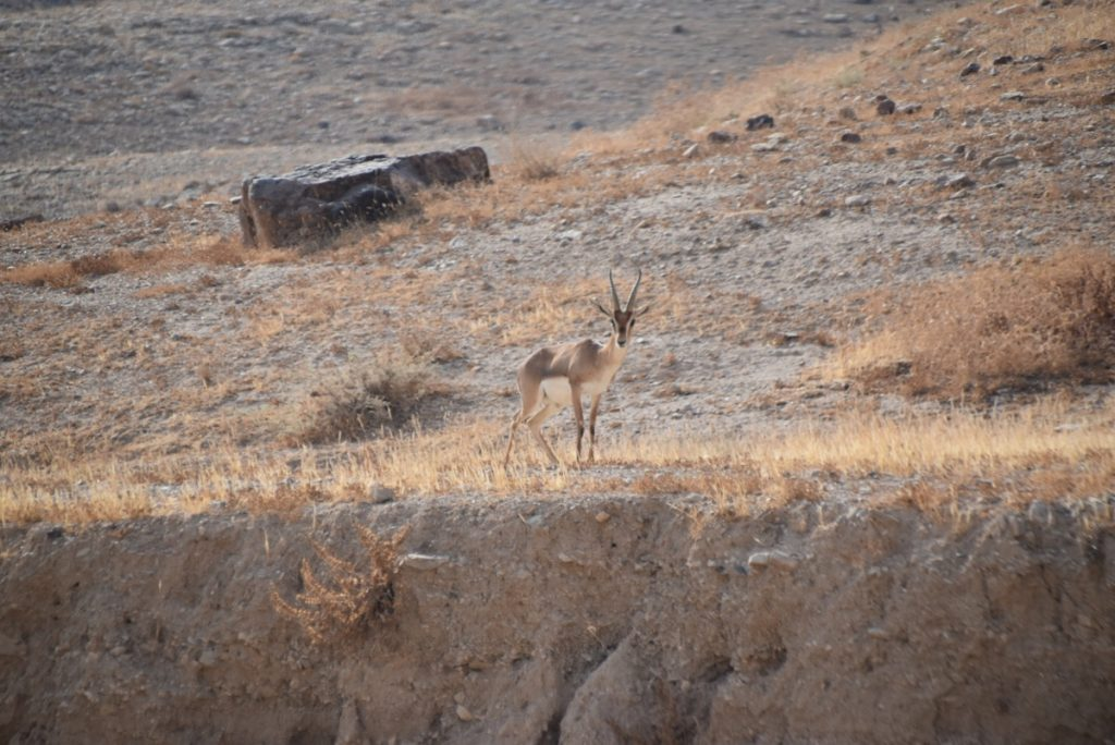 Wadi Qelt gazelle Sept 2019 Israel Tour Group, with John DeLancey