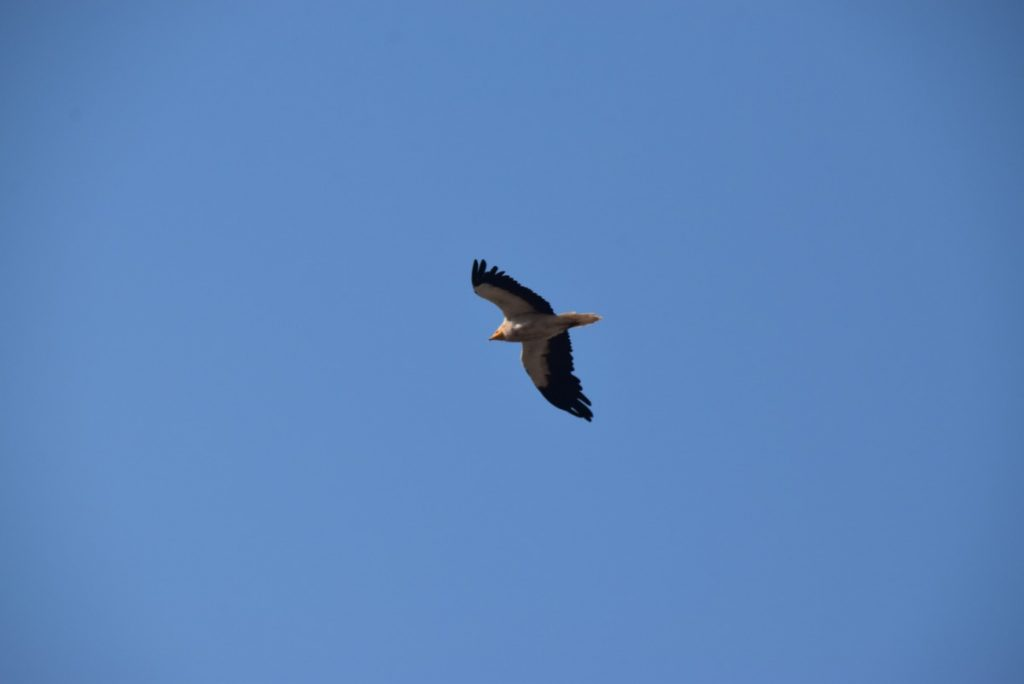 Griffon vulture Sept 2019 Biblical Israel Tour with John DeLancey