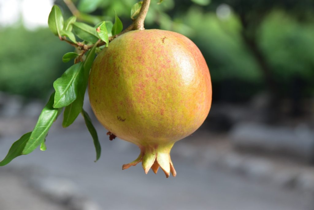 Gamla Pomegranate Sept 2019 Biblical Israel Tour with John DeLancey