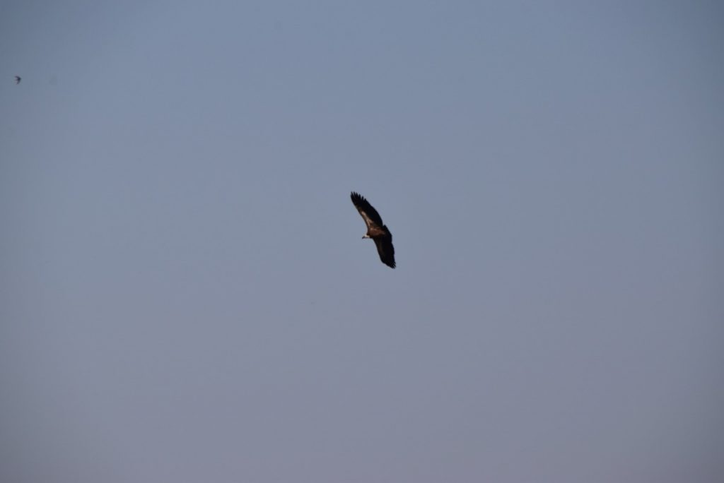 Griffon Vulture Biblical Israel Tour Nov 2019 with John DeLancey